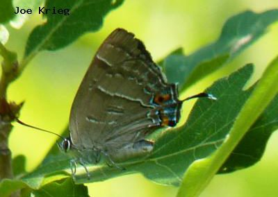 Colorado Hairstreak<br />© Joe Krieg