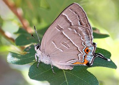 Colorado Hairstreak<br />© Glenn Walbek