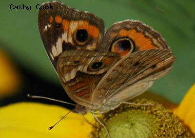 Common Buckeye<br />© Catherine Cook<br />Lyons<br />Boulder County
