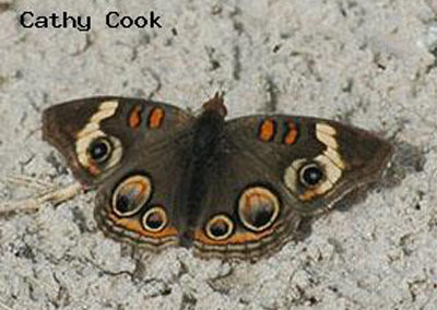 Common Buckeye<br />© Catherine Cook<br />Boulder County