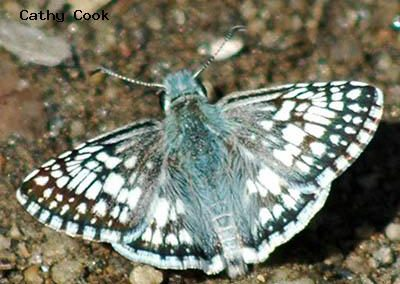 Common Checkered-Skipper<br />© Catherine Cook<br />Anne U. White Trail<br />Boulder County