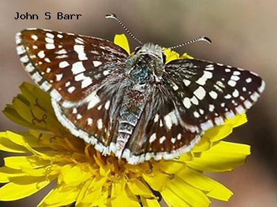 Common Checkered-Skipper<br />© John S. Barr<br />Cal-wood Education Center<br />Boulder County