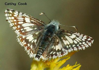Common Checkered-Skipper<br />© Catherine Cook<br />Boulder County