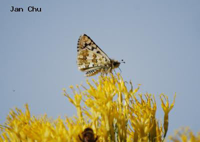 Common Checkered-Skipper<br />© Jan Chu