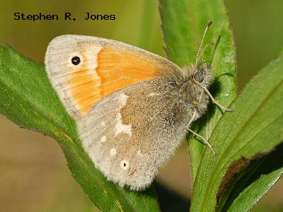 Common (Ochre) Ringlet<br />© Stephen R. Jones