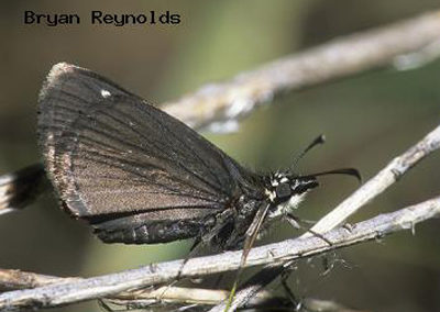Common Sootywing<br />© Bryan Reynolds