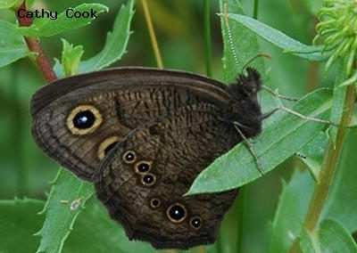 Common Wood-Nymph<br />© Catherine Cook<br />Cal-Wood Education Center<br />Boulder County