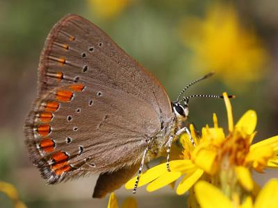 Coral Hairstreak<br /> © Glenn Walbek<br /> Douglas County