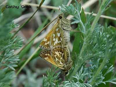 Draco Skipper<br />© Catherine Cook<br />Caribou Ranch<br />Boulder County
