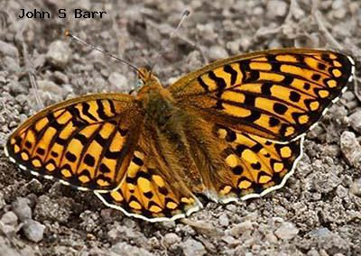 Edward's Fritillary<br />© John S. Barr<br />Cal-Wood Education Center<br />Boulder County