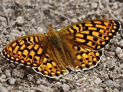 Edward's Fritillary<br /> © John S. Barr<br /> Cal-wood Education Center<br /> Boulder County