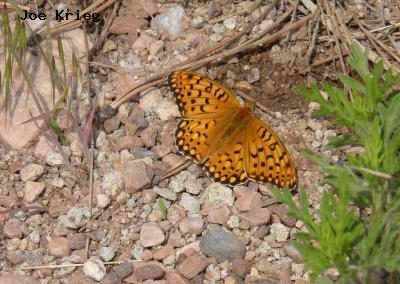 Edward's Fritillary<br />© Joe Krieg<br />Heil Valley Ranch<br />Boulder County