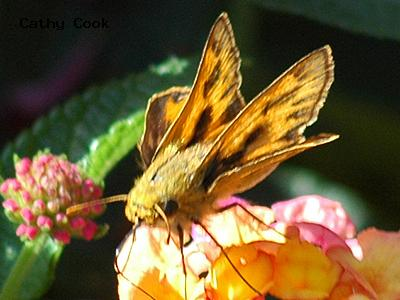 Fiery Skipper<br />© Catherine Cook<br />CSU Trial Garden, Ft. Collins<br />Larimer County