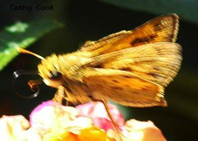 Fiery Skipper<br />© Catherine Cook<br />CSU Trail Garden, Ft. Collins<br />Larimer County