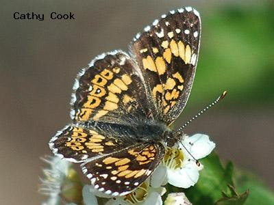 Gorgone Checkerspot<br /> © Catherine Cook<br /> Jamestown<br /> Boulder County