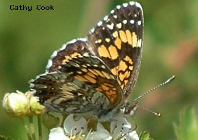 Grogone Checkerspot<br />© Catherine Cook<br />Cal-Wood Education Center<br />Boulder County