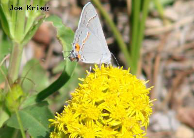 Gray Hairstreak<br />© Joe Krieg<br />Heil Valley Ranch<br />Boulder County