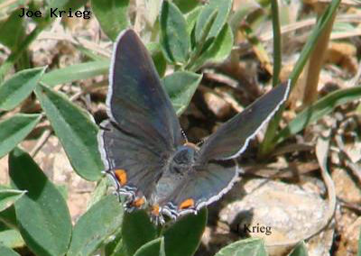 Gray Hairstreak<br />© Joe Krieg<br />Bald Mountain<br />Boulder County