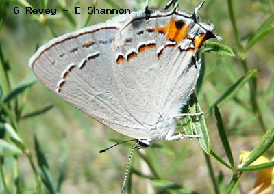 Gray Hairstreak<br />© Gordon Revey-Ellen Shannon