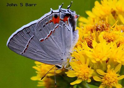 Gray Hairstreak<br />© John S. Barr