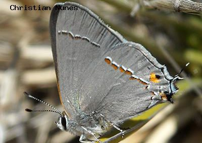 Gray Hairstreak<br />© Christian Nunes<br />Southeast Buffer<br />Boulder County