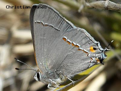 Gray Hairstreak<br /> © Christian Nunes<br /> Southeast Buffer<br /> Boulder County