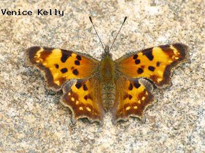 Green Comma<br /> © Venice Kelly