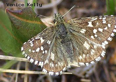 Grizzled Skipper<br />© Venice Kelly