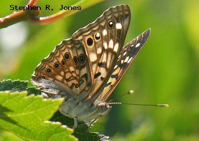 Hackberry Emperor<br />© Stephen R. Jones