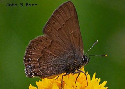 Hedgerow Hairstreak<br />© John S. Barr<br />Meyers Gulch<br />Boulder County
