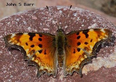 Hoary Comma<br />© John S. Barr<br />Boulder County