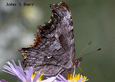 Hoary Comma<br />© John S. Barr<br />Rocky Mountain National Park<br />Larimer County