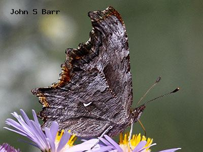 Hoary Comma<br /> John S. Barr<br /> Rocky Mountain National Park<br /> Larimer County