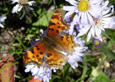 Hoary Comma<br />© Mary Jane Voogt<br />Boulder County