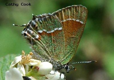 Juniper Hairstreak<br />© Catherine Cook<br />Coulson Gulch<br />Boulder County