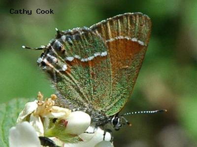 Juniper Hairstreak<br /> © Catherine Cook<br /> Coulson Gulch<br /> Boulder County