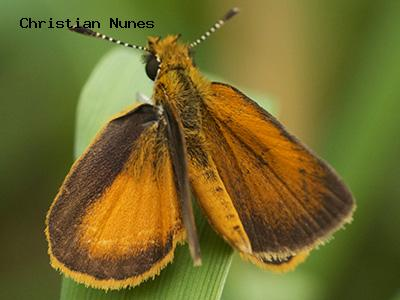 Least Skipper<br />© Christian Nunes<br />Boulder Creek Trail<br />Boulder County