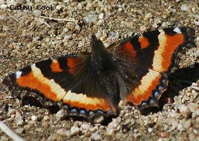 Milbert's Tortoiseshell<br />© Catherine Cook<br />Rocky Mountain National Park<br />Larimer County