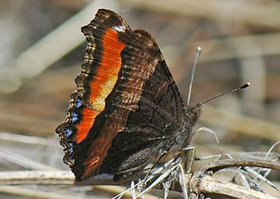 Milbert's Tortoiseshell<br />© Catherine Cook<br />Anne U. White Trail<br />Boulder County