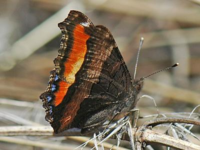 Milbert's Tortoiseshell<br /> © Catherine Cook<br /> Anne U. White Trail<br /> Boulder County