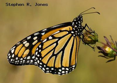 Monarch<br />© Stephen R. Jones