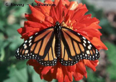 Monarch<br />© Gordon Revey-Ellen Shannon