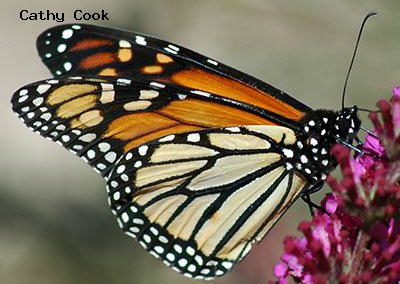 Monarch<br />© Catherine Cook<br />CSU Trail Garden, Ft. Collins<br />Larimer County