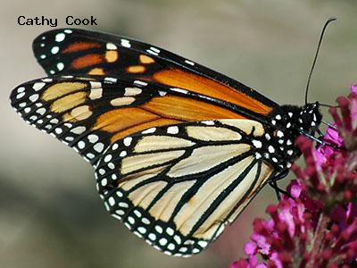 Monarch<br /> © Cathy Cook<br /> CSU Trial Garden, Ft. Collins<br /> Larimer County