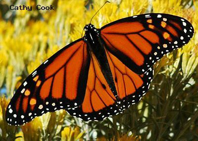 Monarch<br />© Catherine Cook<br />Boulder County