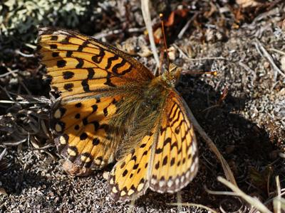 Mormon Fritillary<br /> © Glenn Walbek<br /> Loveland Pass<br /> Clear Creek County