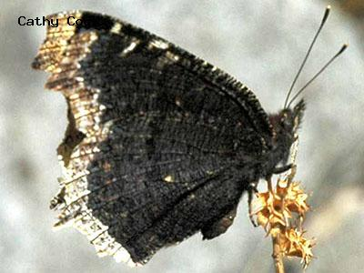 Mourning Cloak<br /> © Catherine Cook<br /> Anne U White Trail<br /> Boulder County