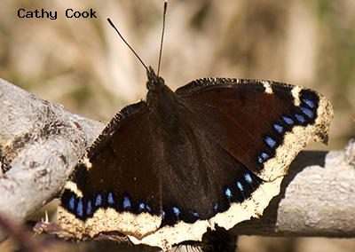 Mourning Cloak<br />© Catherine Cook<br />Anne U. White Trail<br />Boulder County