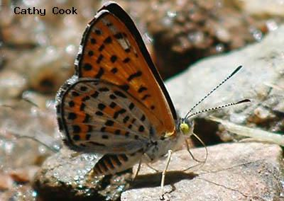 Nais Metalmark<br />© Catherine Cook<br />Coulson Gulch<br />Boulder County