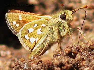 Nevada Skipper<br />© Catherine Cook<br />Boulder County